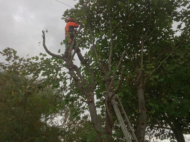 S Provan - Sycamore tree removal