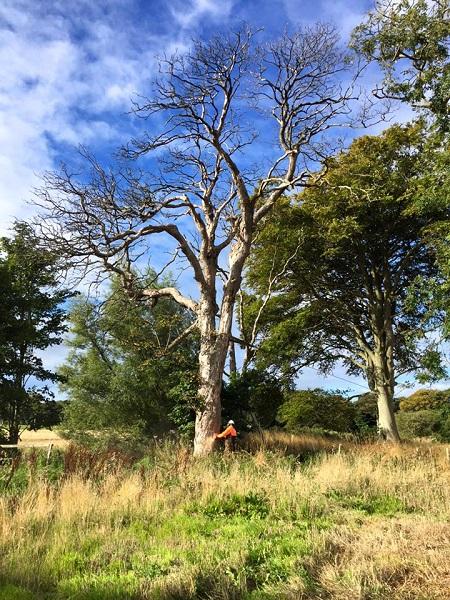 SD Provan Winching Dead Elms on Balcaskie Estate 1