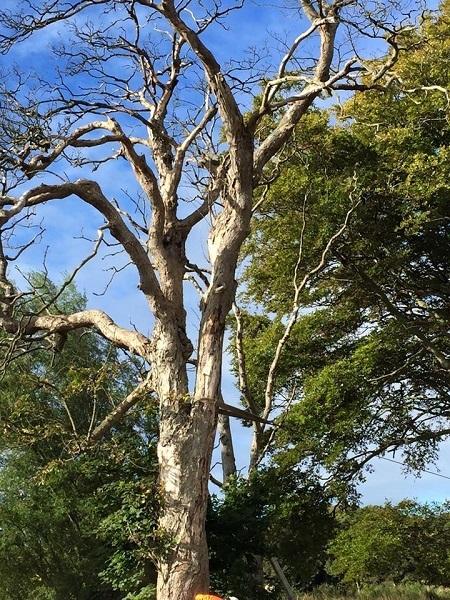 SD Provan Winching Dead Elms on Balcaskie Estate 2